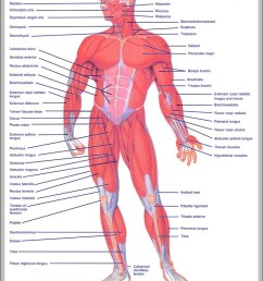 upper muscles of the body diagram chart diagrams and charts with labels this diagram depicts upper muscles of the body [ 805 x 1030 Pixel ]
