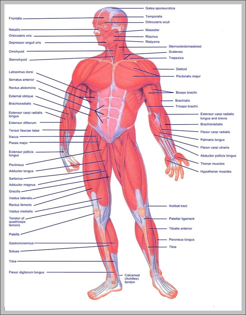medium resolution of upper muscles of the body diagram chart diagrams and charts with labels this diagram depicts upper muscles of the body
