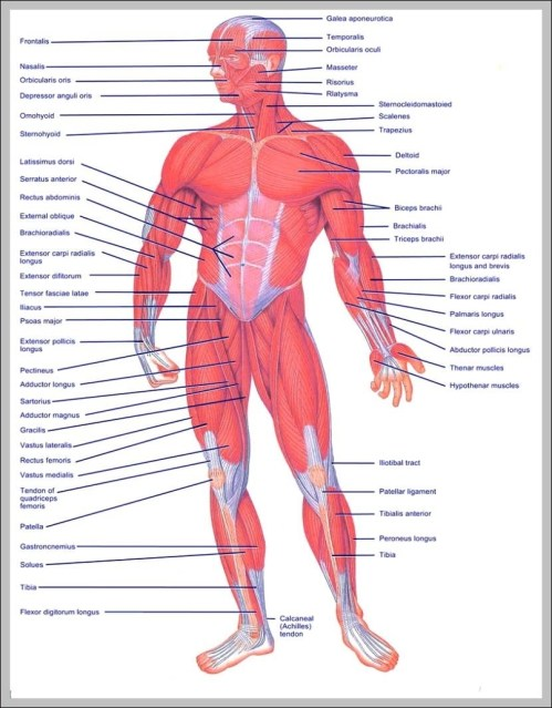 small resolution of upper muscles of the body diagram chart diagrams and charts with labels this diagram depicts upper muscles of the body