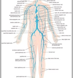 vein system of the human body 744 1195 diagram chart diagrams and charts with labels this diagram depicts vein system of the human body 744 1195 [ 751 x 1152 Pixel ]