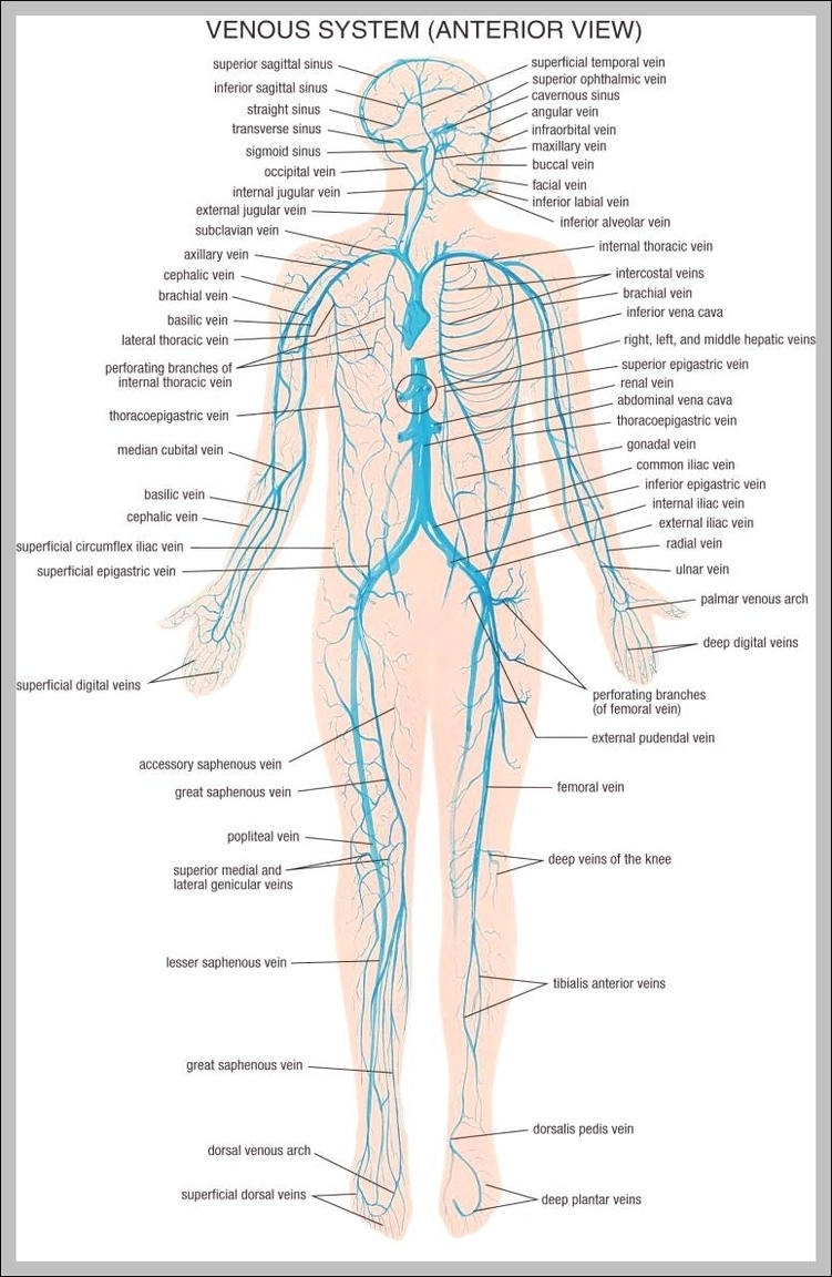 medium resolution of vein system of the human body 744 1195 diagram chart diagrams and charts with labels this diagram depicts vein system of the human body 744 1195