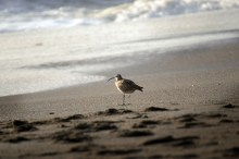 Do shorebirds reflect on the end of the day?