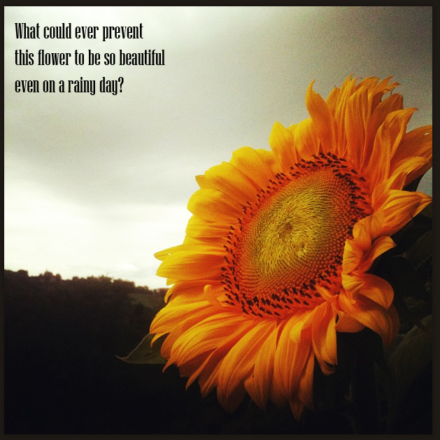 Sunflower On A Rainy Day