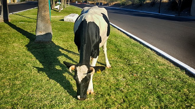 cow-mowing-grass-800x450