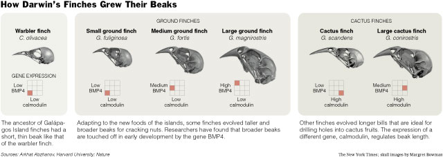 How Darwin's Finches Grew Their Beaks
