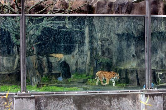 Tigers Kill Idiots At Zoo