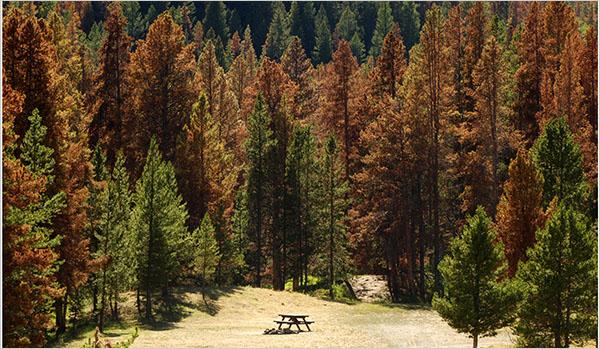 Floresta pe Pinus atacada pelo besouro-bicudo, em foto de Anne Sherwood, no The New York Times