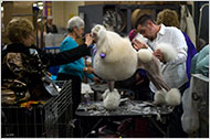 David Welsh grooming a standard poodle. It can take six hours to get oneready for the ring.