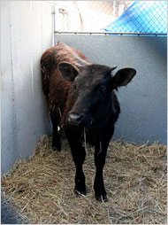 Molly the Calf