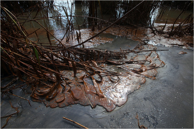 Oil from the leaking gulf well washed into the grasses on the eastern side of the South Pass of the Mississippi River in Louisiana. - Jim Wilson/The New York Times