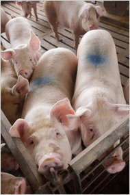 Pigs near Ralston, Ia., ingest antibiotics in their feed. The blue spot indicates they are ready for market.
