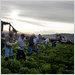 Farmworkers harvesting lettuce.