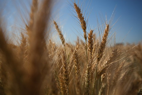 A variety of drought-stressed wheat grown by researchers near Obregón, Mexico.