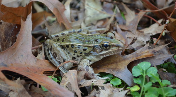 The newly discovered New York frog. This new species of leopard frog, whose entire known range is roughly within commuting distance of Midtown Manhattan, makes an unusual sound; photo Brian Curry