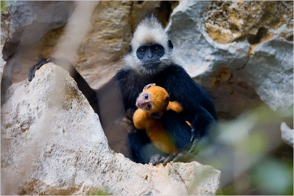 White-headed langurs are born canary yellow. Here, a newborn langur clings to its mother.