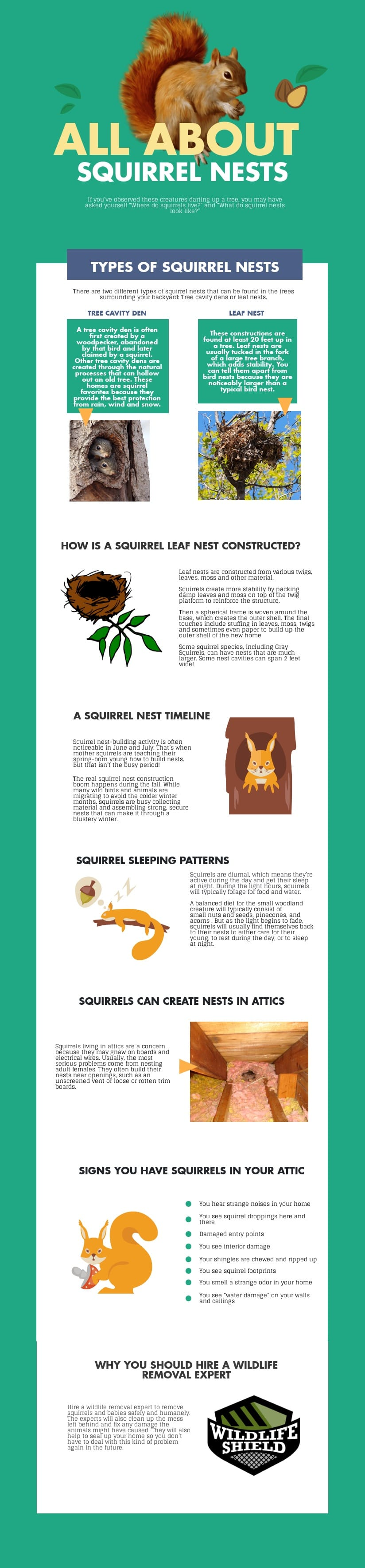 How Squirrels Build Their Nests - Infographic