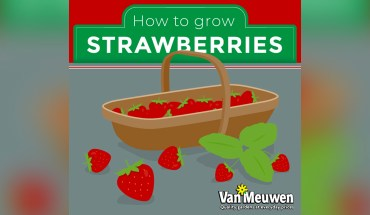 Grow Your Own Strawberries: In 8 Easy Steps - Infographic