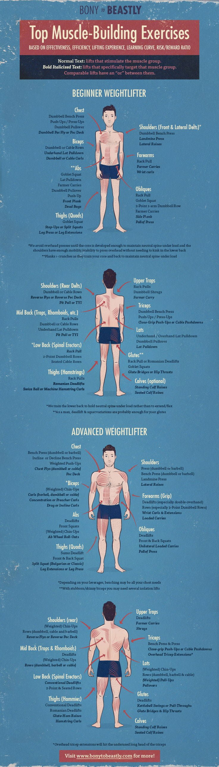 From Bone to Brawn: How Long Does It Take to Build Muscle? - Infographic