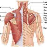 Shoulder Anatomy BJJ