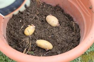 Kartoffeln in Kübeln - alte Kartoffeln verwenden