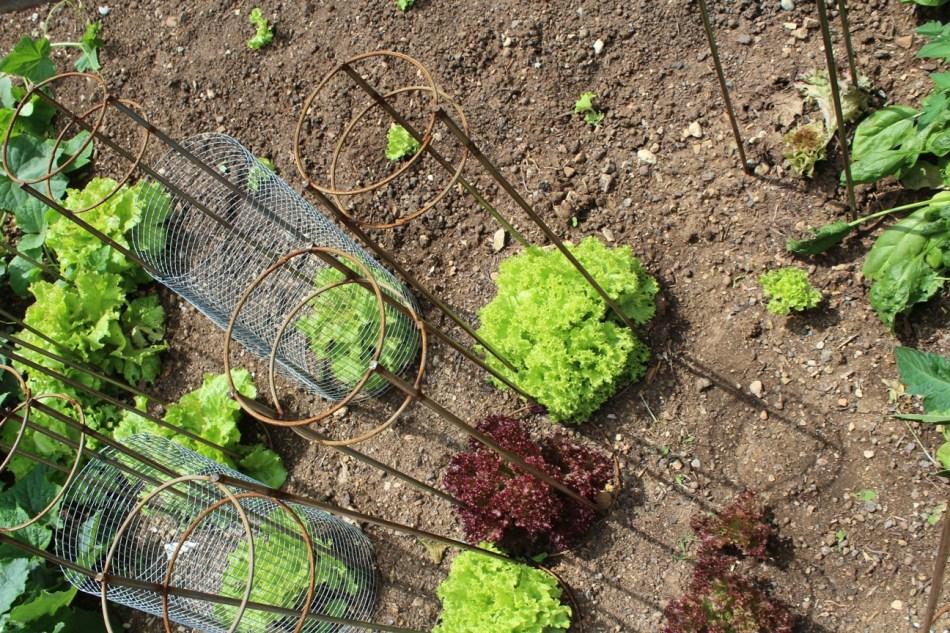 (c) Grashüpfer, Gemüsebeet, Salat ernten
