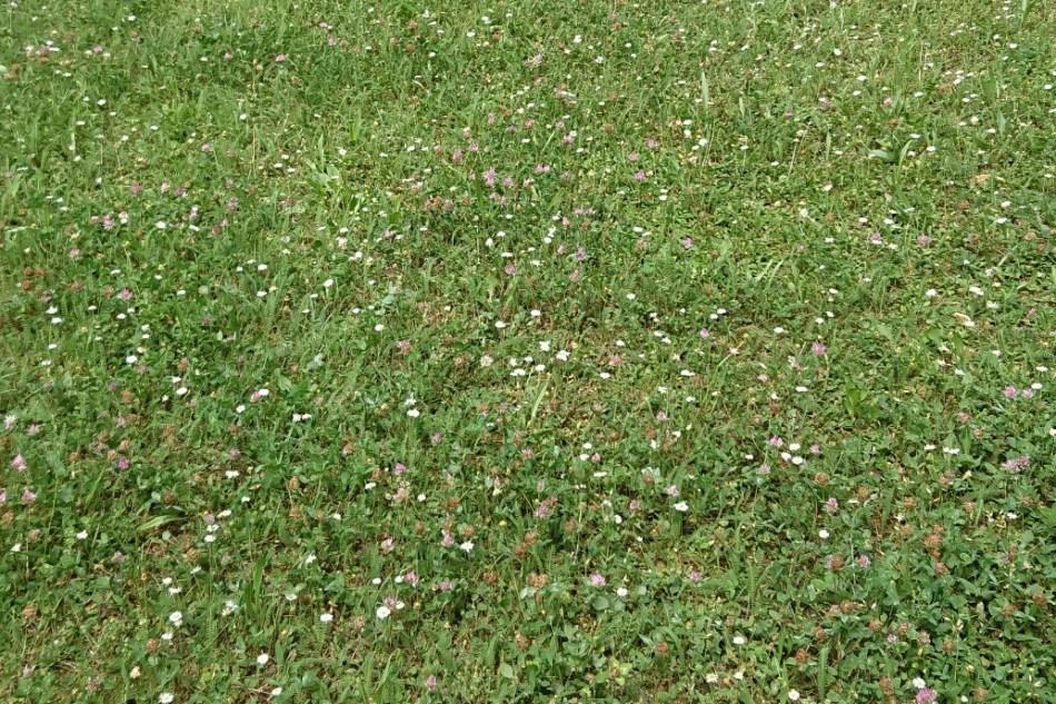 (c) Grashüpfer, Gras mit Klee