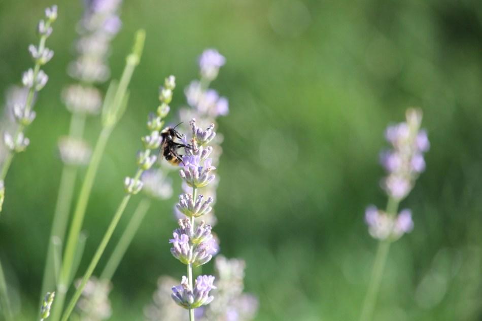 (c) Grashüpfer, Biene auf Lavendel