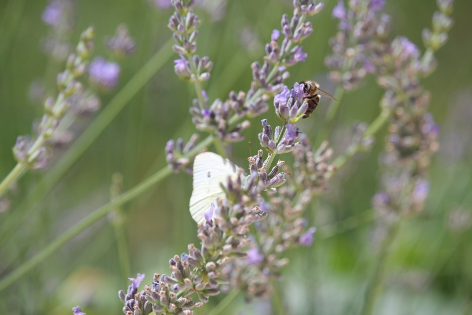 (c) Grashüpfer, Insekten auf Lavendel