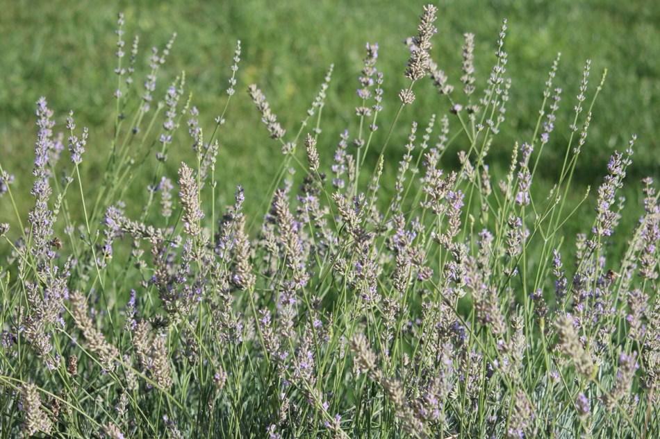 (c) Grashüpfer, Lavendel