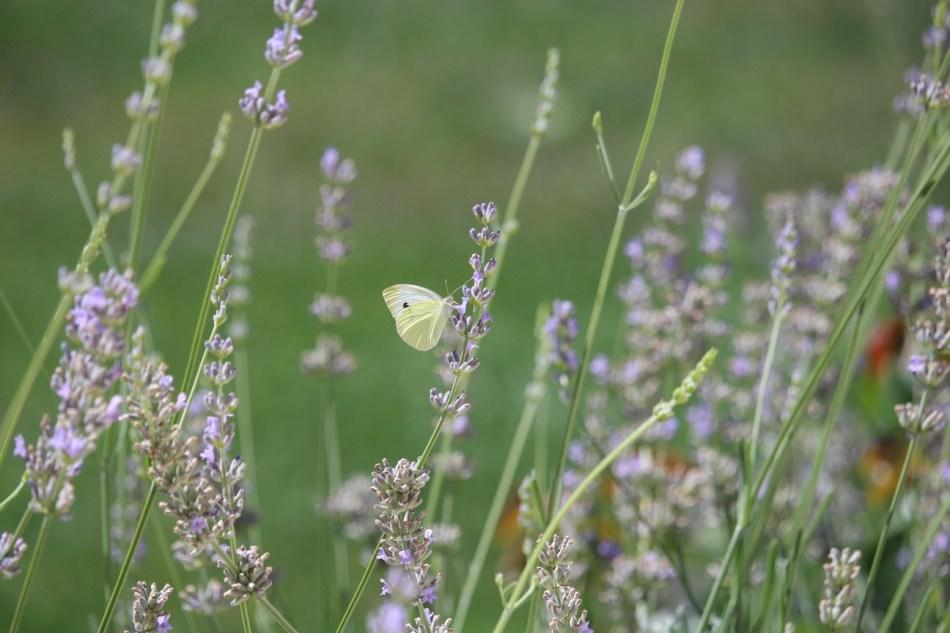 (c) Grashüpfer, Schmetterling auf Lavendel