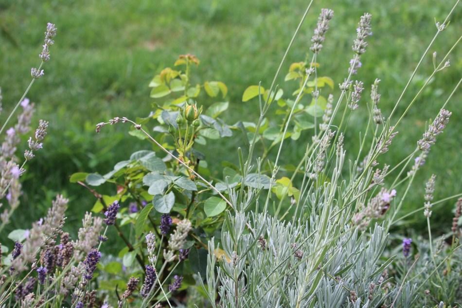 (c) Grashüpfer, Unterschiedliche Lavendel-Sorten und Rose