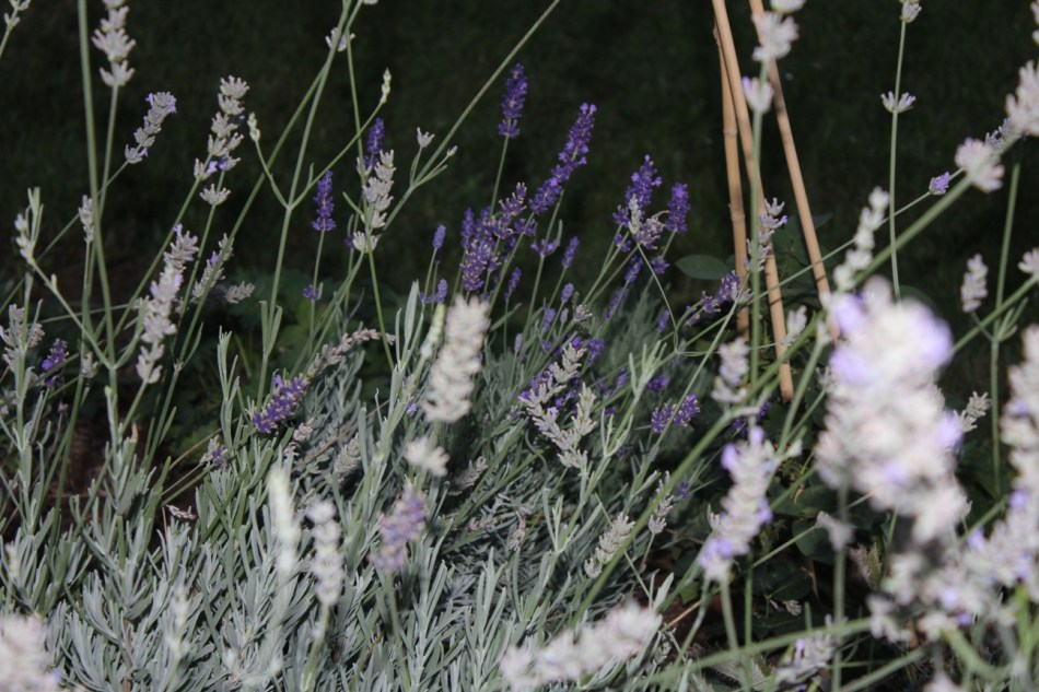 (c) Grashüpfer, unterschiedliche Lavendelsorten