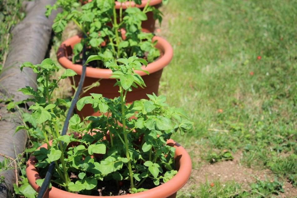 (c) Grashüpfer, Kartoffeln in Kübeln, Pflanze
