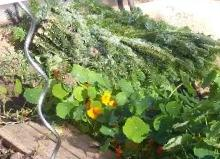 Gemüsebeet Winter: Gemüsebeet - die letzte Ernte - Karotten zudecken