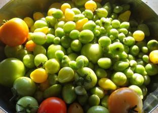 Gemüsebeet Winter: die letzte Ernte Tomaten