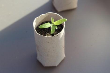 Sämlinge vereinzeln - Jungpflanze umgesetzt