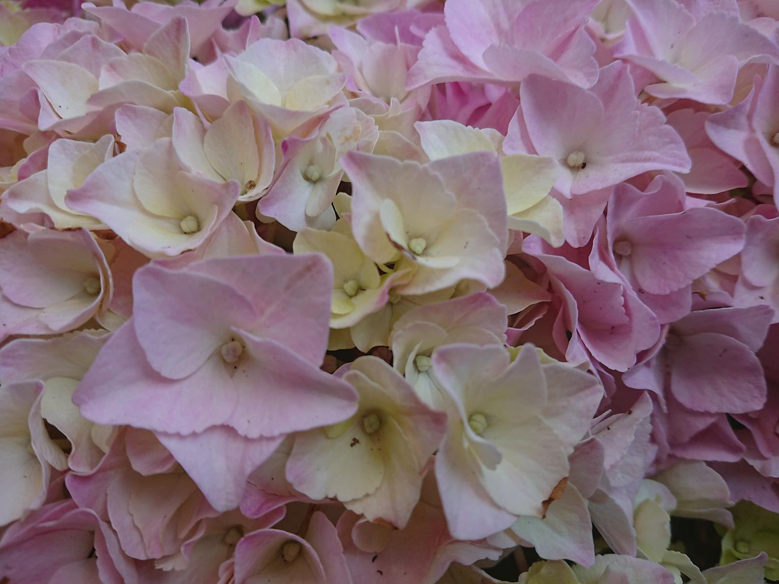 Hortensie, Blüten