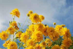 A photo of a bunch of bright yellow flowers; in the background is a blue sky and clouds.