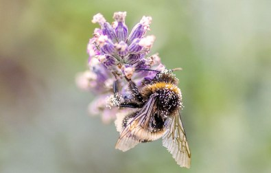 herbs-for-bees-pollinators