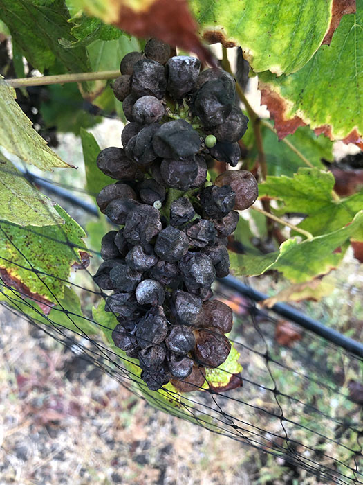 Botrytis - Grapes After Fire - Winemaking Affected by Fire - Climate Change and Winemaking