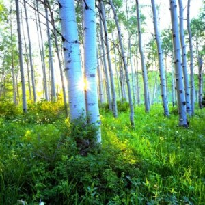 aspen grove green sunlight