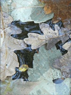 oak leaves floating in water.