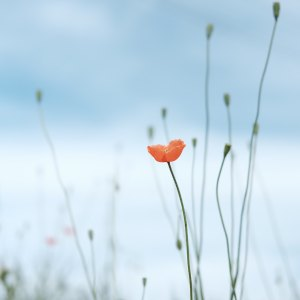 Orange poppy against a pale blue sky.