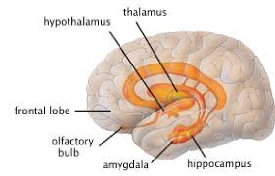 creierul limbic, hipotalamus, talamus, hipocamp,  nucleul amigdalian, bulbul olfactiv.