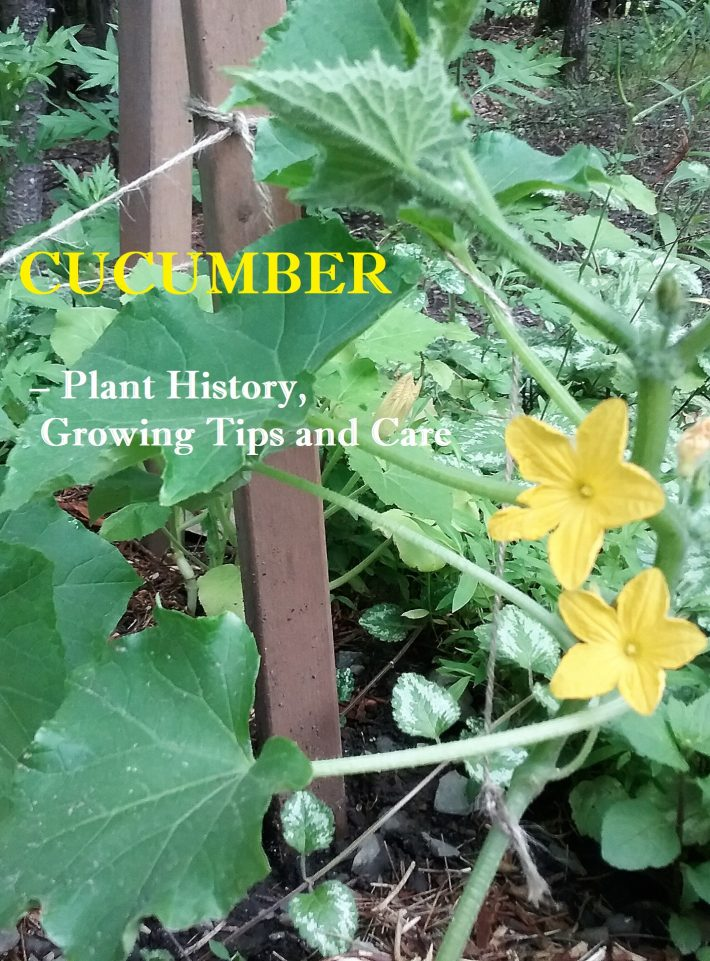 Cucumber Growing Tips and Care