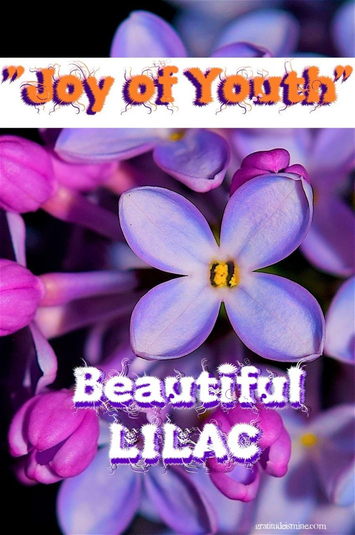 """Joy of Youth""-Beautiful Lilacs"