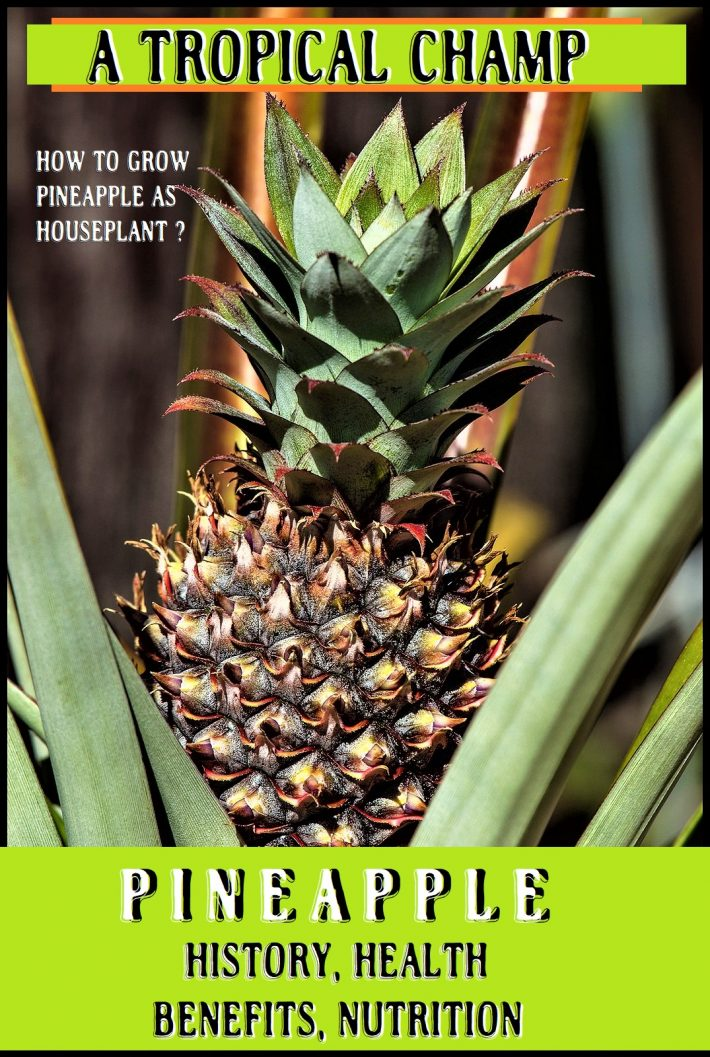 A TROPICAL CHAMP-PINEAPPLE