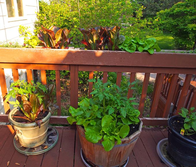 Garden-Lettuce-2