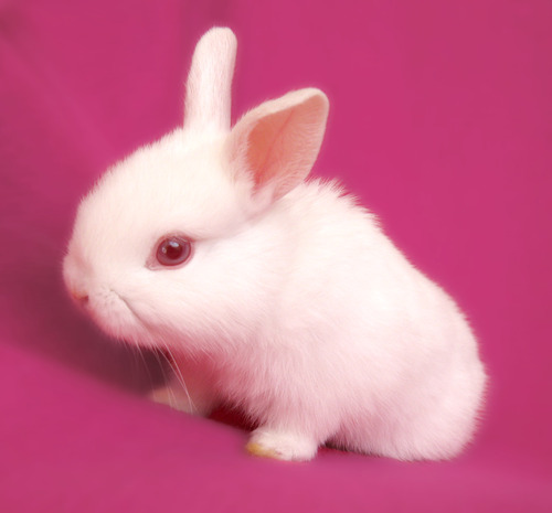 is a rabbit a rodent?
