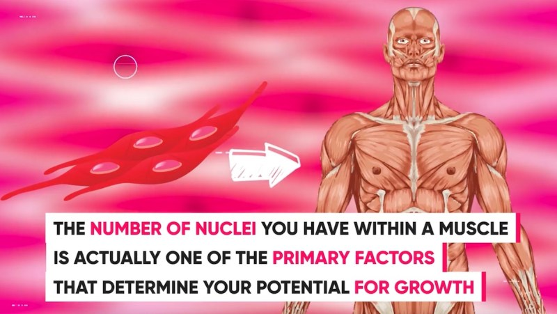 amount-of-nuclei-determines-muscle-growth